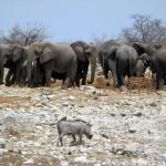 Elefanten und ein Warzenschwein