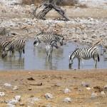 Zebras und Antilopen am Wasserloch