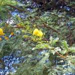 Kameldornbaum