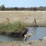 Giraffen und Antilopen am Wasserloch