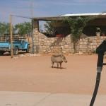 Warzenschwein an der Tankstelle